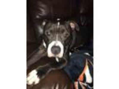 Adopt Dino a Boxer, Pit Bull Terrier