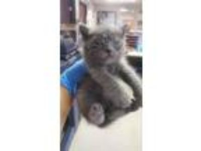 Adopt Johnny a Russian Blue, Domestic Short Hair