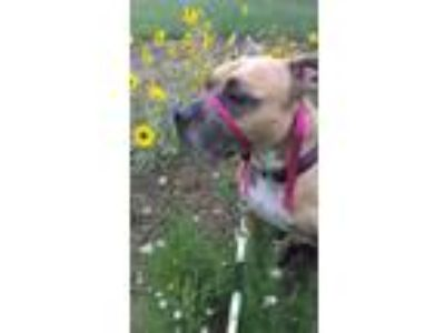 Adopt Blu a Tan/Yellow/Fawn - with Black Pit Bull Terrier / Mixed dog in