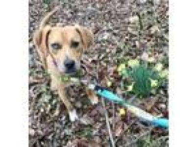 Adopt Silas a Pit Bull Terrier, Hound