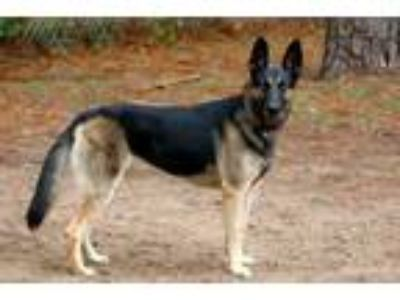 Adopt Bella a German Shepherd Dog