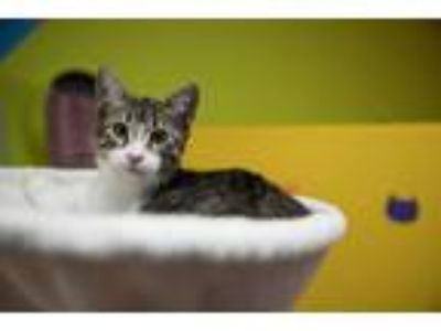 Adopt Layla a Brown Tabby Domestic Shorthair (short coat) cat in Houston