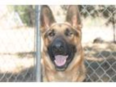 Adopt Payton a Brown/Chocolate - with White German Shepherd Dog / Mixed dog in