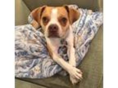 Adopt Bumpus a Tan/Yellow/Fawn Pug / Beagle dog in Helena, AL (25294663)
