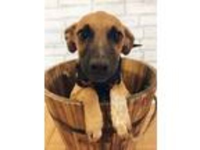 Adopt Jasper a Brown/Chocolate - with Black Black Mouth Cur / Labrador Retriever