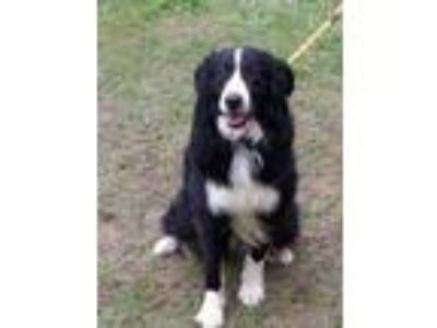 Adopt Salem a Border Collie