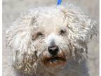 Adopt COLBY a White Poodle (Miniature) / Mixed dog in New Haven, CT (25211652)