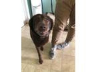 Adopt Weezy a Chocolate Labrador Retriever