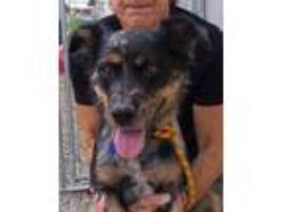 Adopt Ivy a Australian Cattle Dog / Blue Heeler