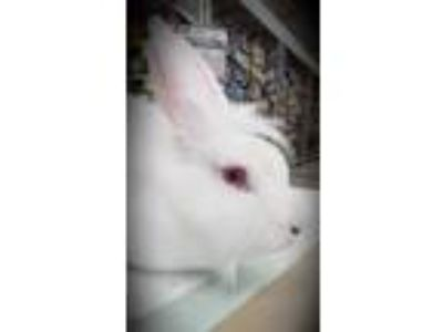 Adopt Sissy a Albino or Red-Eyed White Lionhead rabbit in Morgan Hill