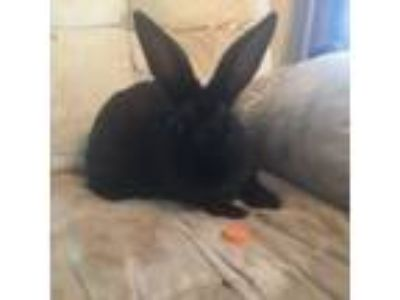 Adopt Truffle a Black American / Mixed (short coat) rabbit in West Pelzer