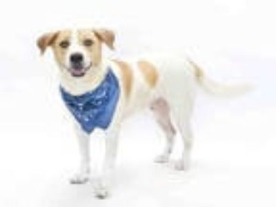 Adopt JAKE a White - with Tan, Yellow or Fawn Ibizan Hound / Mixed dog in