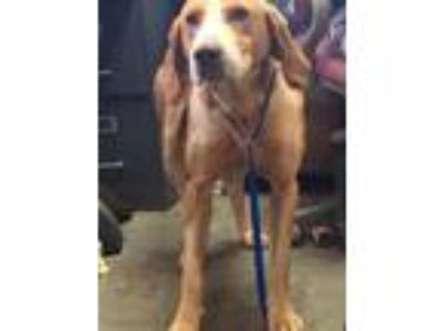 Adopt 14882 a Coonhound dog in Chatsworth, GA (25340820)