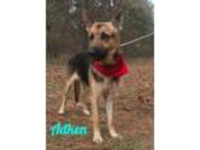 Adopt Adken a German Shepherd Dog