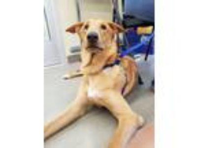 Adopt Elmer Fudd a Labrador Retriever, Collie