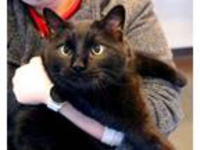 Adopt Dan a Domestic Shorthair / Mixed cat in Versailles, KY (23107792)