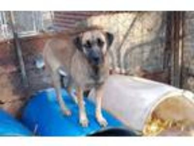 Adopt Fran a Labrador Retriever, Black Mouth Cur