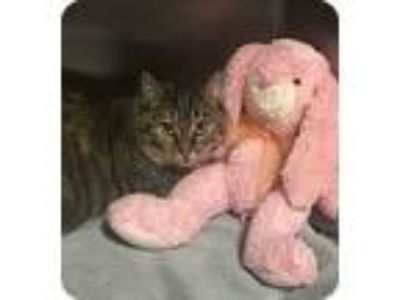Adopt Freda a Brown Tabby Domestic Shorthair / Mixed (short coat) cat in Mount