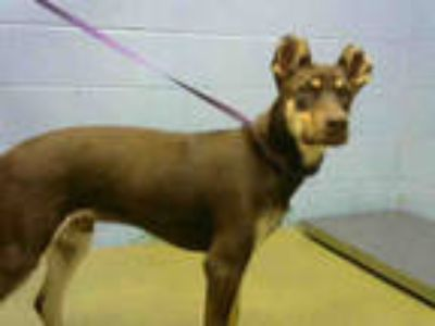Adopt a Brown/Chocolate - with Tan Doberman Pinscher / Mixed dog in Moreno