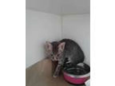 Adopt 41968602 a Gray or Blue Domestic Shorthair / Domestic Shorthair / Mixed