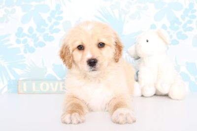 Goldendoodle PUPPY FOR SALE ADN-63089 - Minnie Female MINI Goldendoodle Puppy