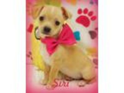 Adopt SIRI a Red/Golden/Orange/Chestnut - with White Dachshund / Terrier