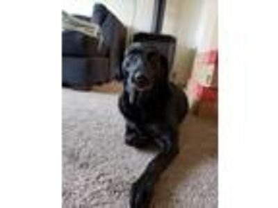 Adopt olie a Black Labrador Retriever dog in Ammon, ID (25037162)