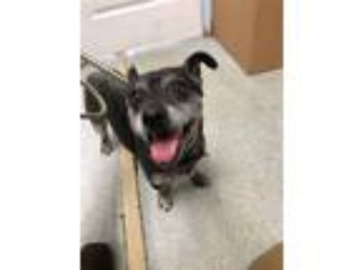 Adopt Zeus a Corgi / Mixed dog in Vallejo, CA (25568740)