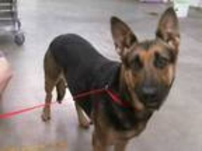 Adopt ALLISON a Tan/Yellow/Fawn - with Black German Shepherd Dog / Mixed dog in
