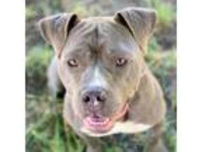 Adopt Mystique a Gray/Silver/Salt & Pepper - with White American Pit Bull