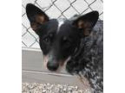 Adopt Panda a Australian Cattle Dog / Blue Heeler