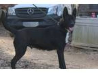 Adopt Shelby a Black German Shepherd Dog / Mixed dog in Brattleboro
