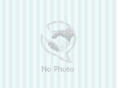 Adopt Bruce a White - with Tan, Yellow or Fawn American Staffordshire Terrier /
