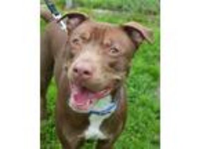Adopt Ben a American Pit Bull Terrier / Mixed dog in Stratham, NH (25584345)