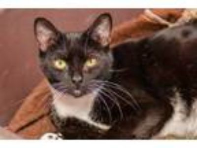 Adopt Muffin a All Black Domestic Shorthair / Domestic Shorthair / Mixed cat in
