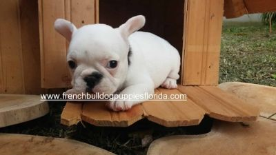 French Bulldog PUPPY FOR SALE ADN-78105 - beautiful and adorable French Bulldog puppies
