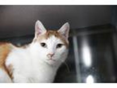 Adopt Sonny a White (Mostly) Domestic Shorthair (short coat) cat in Walden