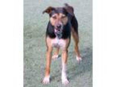 Adopt Haven a Black Hound (Unknown Type) / Mixed dog in Loxahatchee