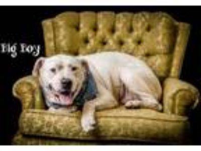 Adopt Big Boy a White American Pit Bull Terrier / Mixed dog in North Myrtle