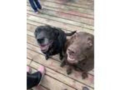 Adopt Dexter and Jasmine a Labrador Retriever
