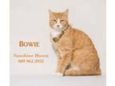 Adopt Bowie a Orange or Red Tabby Domestic Shorthair (short coat) cat in San