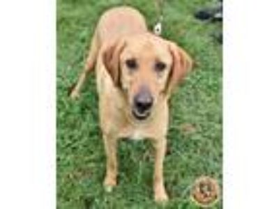 Adopt Sandy and Sadie a Labrador Retriever