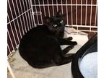 Adopt Sebastian a All Black Domestic Shorthair (short coat) cat in Wantagh