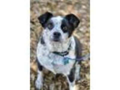 Adopt Achilles a Black - with White Australian Cattle Dog / Border Collie /