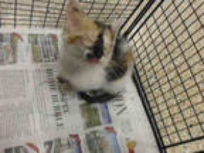 Adopt ORCHID a Calico or Dilute Calico Domestic Shorthair / Mixed (short coat)