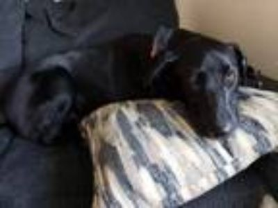 Adopt Oreo a Black - with White Labrador Retriever dog in Ammon, ID (25037172)
