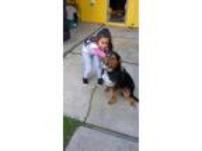 Adopt Beemo a Black - with Tan, Yellow or Fawn Rottweiler / Shepherd (Unknown