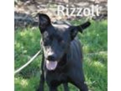 Adopt Rizzoli a Black German Shepherd Dog / Labrador Retriever / Mixed dog in