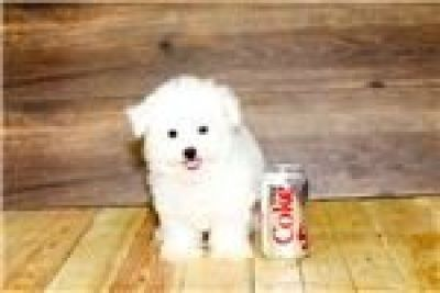 Tiny Maltese Boy Kc Reg 5733268550