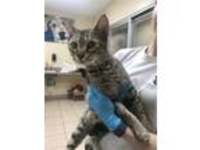 Adopt Rochelle a Domestic Shorthair / Mixed (short coat) cat in Birmingham